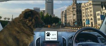 Modo autônomo esperto do cão e da sentinela do uso do carro para proteger ou guardar o carro e o animal de estimação além do que  imagem de stock royalty free