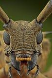 modo de retrato Largo-de cuernos de la cara del escarabajo Fotografía de archivo libre de regalías