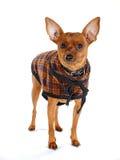 Modo del Doggy Fotografie Stock