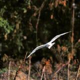 Modo do voo do pássaro Imagem de Stock