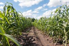Modo nel campo di grano con nuvoloso Immagini Stock