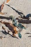 Modraki na plaży w obozie Trzymać na dystans w Kapsztad zdjęcia royalty free