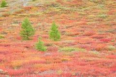 modrzew jesienna góry tundra Fotografia Royalty Free