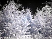Modrzew na nieba tle Infrared fotografia Zdjęcia Royalty Free