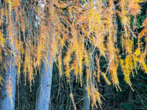 Modrzew z złotymi żółtymi igłami Zdjęcie Royalty Free