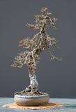 modrzewia bonsai zimy. fotografia stock