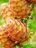 Modrzewiowego drzewa rożki i szczegół Fotografia Stock