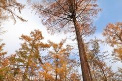 Modrzewiowi drzewa w jesieni nad niebieskim niebem Obrazy Stock