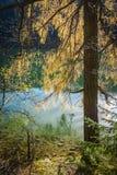 Modrzewiowy drzewo zdjęcie royalty free