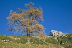 modrzewiowy jesień drzewo zdjęcie stock