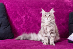 Młody Maine Coon kot Fotografia Stock