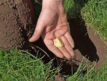 A moeda de ouro encontrou com detector de metais Fotografia de Stock