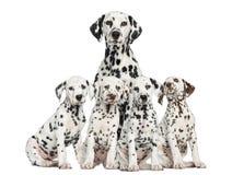 Moeder Dalmatische zitting achter haar puppy Stock Afbeeldingen