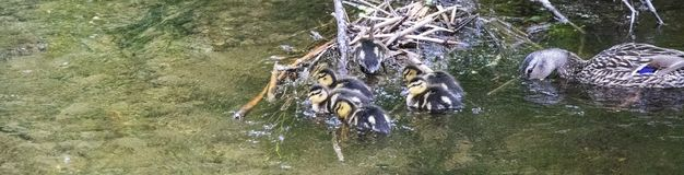 Moeder Duck Fishing met haar Babys stock foto