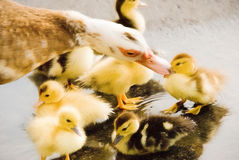 Moeder Duck Kissing Her Duckling royalty-vrije stock foto