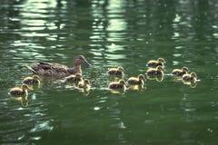 Moeder-eend en eendjes Stock Afbeelding