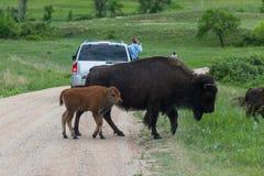 Moeder en Baby Bison Crossing de Weg royalty-vrije stock afbeeldingen