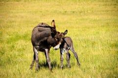 Moeder en Baby Burro stock afbeelding