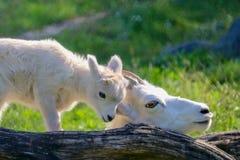 Moeder en Baby de Schapen van Dall in groen gras met boom registreren, wit, close-up, de zomer, zonnig, mooi, houdend van, samen stock foto's