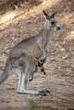 Moeder en baby (kangoeroes) Stock Foto
