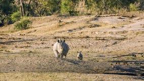 Moeder en baby witte rinoceros in het Nationale Park van Kruger stock afbeeldingen