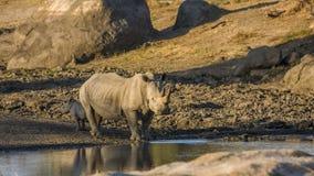 Moeder en baby witte rinoceros in het Nationale Park van Kruger stock foto's