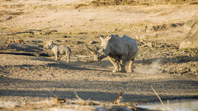 Moeder en baby witte rinoceros in het Nationale Park van Kruger stock foto