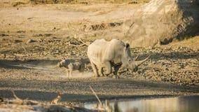 Moeder en baby witte rinoceros in het Nationale Park van Kruger royalty-vrije stock fotografie