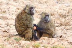 Moeder en babybavianen Royalty-vrije Stock Fotografie
