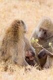 Moeder en babybavianen Stock Foto's
