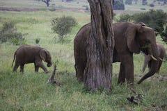 Moeder en babyolifant het Krassen op boom Royalty-vrije Stock Afbeelding
