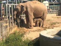 Moeder en babyolifanten bij de dierentuin stock afbeelding