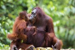 Moeder en babyorangoetan Stock Fotografie