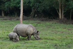 Moeder en babyrinoceros Royalty-vrije Stock Fotografie