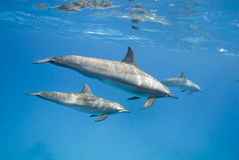 Moeder en de jeugddolfijnen van de Spinner in de wildernis. Stock Fotografie