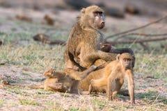 Moeder en haar babys Stock Fotografie