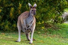 Moeder en Joey Kangaroo stock foto's