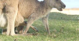 Moeder en Joey Kangaroo Wallaby Marsupial Animal Australië stock videobeelden