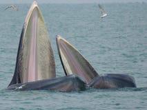 Moeder en jong geitjewalvis Stock Afbeelding