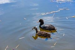 Moeder en kind de koet zwemt samen in een vijver stock foto