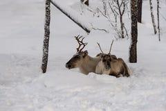 Moeder en kind, Rendier die in de sneeuw samen in wilde Finse forrests liggen royalty-vrije stock foto's