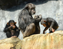 Moeder en Kinderenchimpansees stock afbeelding