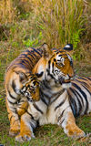 Moeder en welp de wilde tijger van Bengalen in het gras India BANDHAVGARH NATIONAAL PARK Madhya Pradesh royalty-vrije stock foto