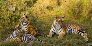 Moeder en welp de wilde tijger van Bengalen in het gras India BANDHAVGARH NATIONAAL PARK Madhya Pradesh stock foto's