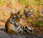 Moeder en welp de wilde tijger van Bengalen in het gras India BANDHAVGARH NATIONAAL PARK Madhya Pradesh stock fotografie