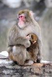 Moeder en welp, de winter. Japanse macaques. Groep p Royalty-vrije Stock Afbeeldingen