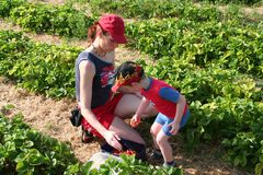 Moeder en zoon die strawberries2 plukken Stock Afbeeldingen