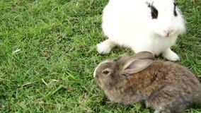 Moeder en zoon van konijnen stock footage