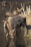 Moeder en zoonsamerikaanse elanden Stock Afbeeldingen