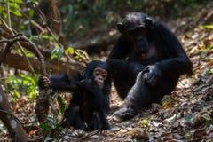 Moeder en zuigelingschimpansee in natuurlijke habitat Royalty-vrije Stock Foto's